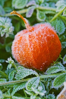 Cape gooseberry (physalis). autumn natural background. one frozen physalis on the green shallow grass in the hoar frost.