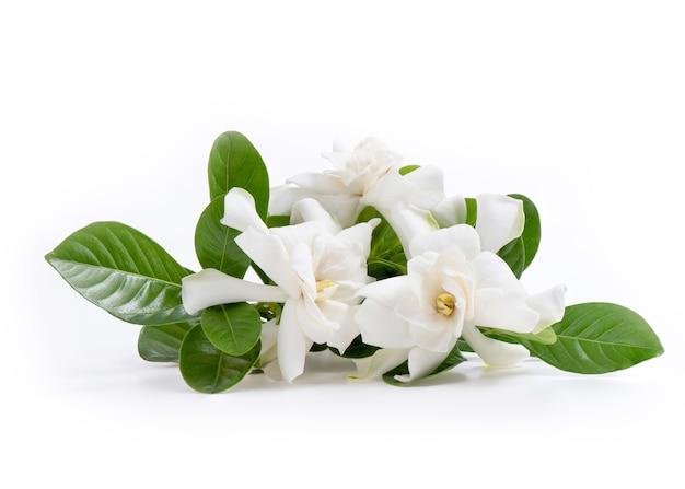 白で隔離されるクチナシの花。