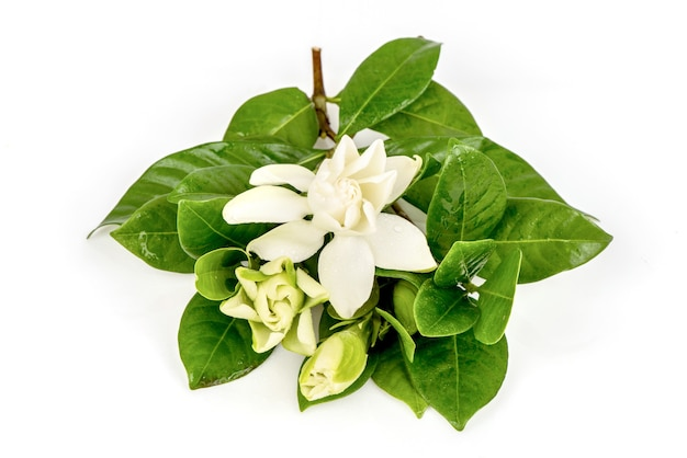 Cape jasmine or gardenia jasminoides flowers and green leaves isolated on white background