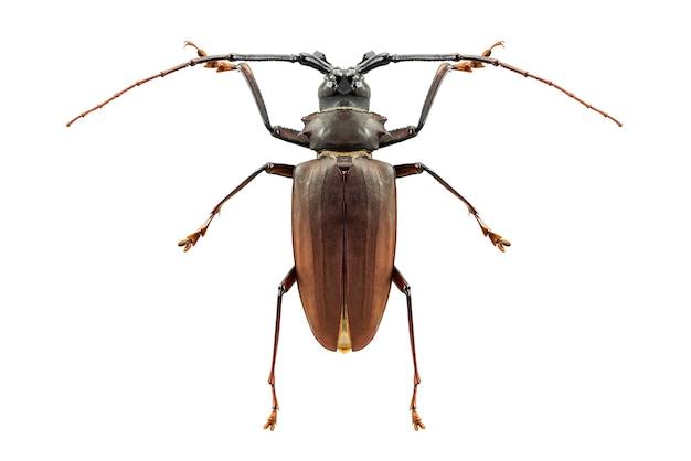 염소 자리 긴 경적 딱정벌레 버그 곤충 흰색 절연