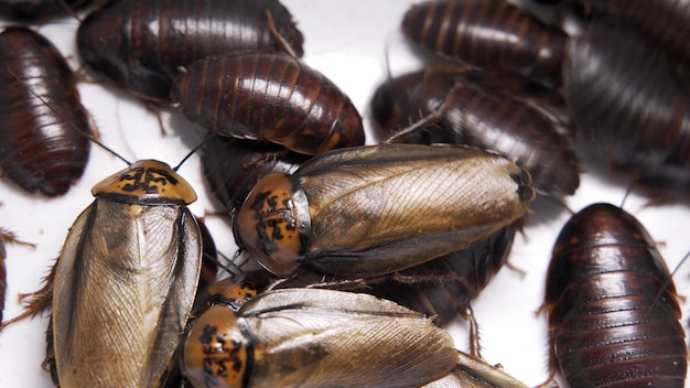 포획된 마다가스카르 치찰음 바퀴벌레가 테라리움 내부를 돌아다니고 있습니다.