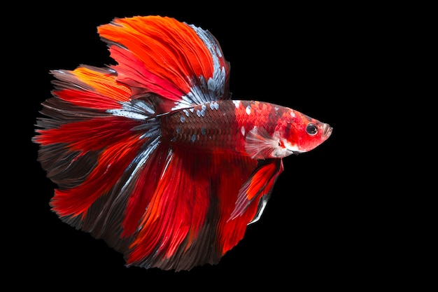 Capture the moving moment of siamese fighting fish isolated on black wall