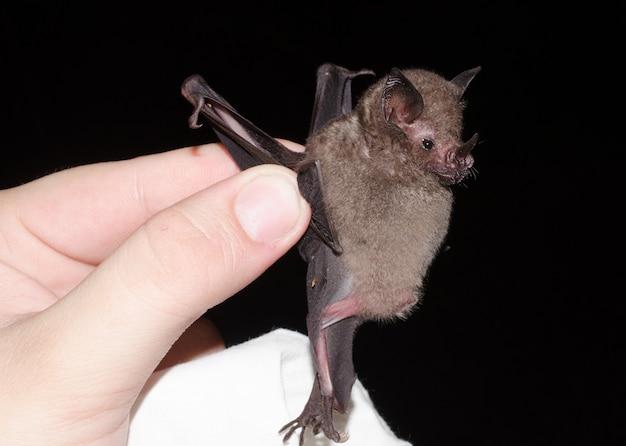 포획 된 박쥐 인 seba의 짧은 꼬리 박쥐 (carollia perspicillata)는 phyllostomidae과의 흔하고 널리 퍼진 박쥐 종으로 중미, 남미에서 발견됩니다.