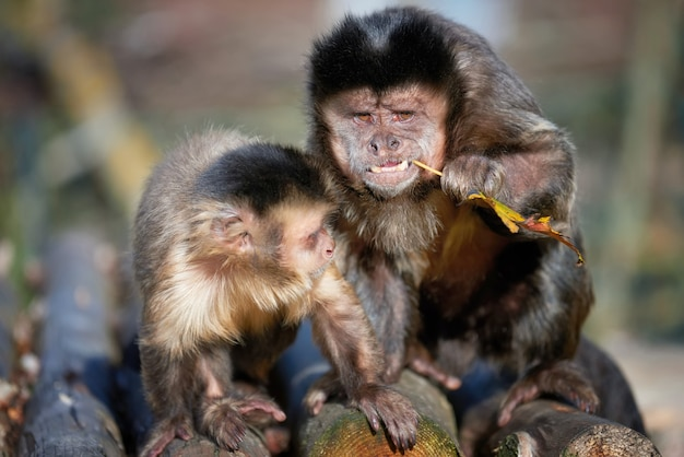Capuchin monkey. capucinus in green tropic vegetation
