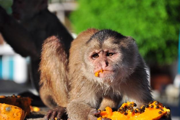 Capuchin monkey eating papaya