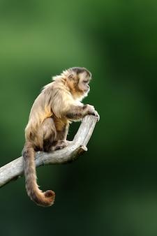 Капуцин, обезьяна, сидящая на ветке дерева в темном тропическом лесу. capucinus в зеленой тропической растительности. животное в природе обитания