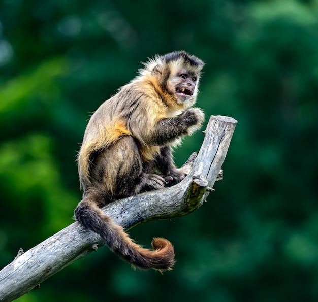 自然の生息地にいるオマキザルとアフリカのサバンナ