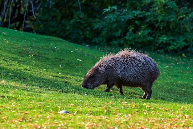 カピバラ、芝生の上の巨大なケイビー齧歯動物