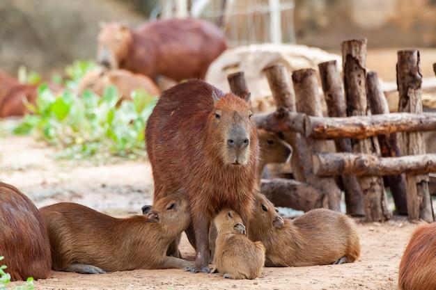 Capybara, hydrochoerus hydrochaeris, 가장 큰 이빨 설치류.