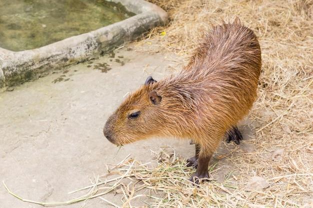 A capybara (hydrochoerus hydrochaeris) walking on bare ground