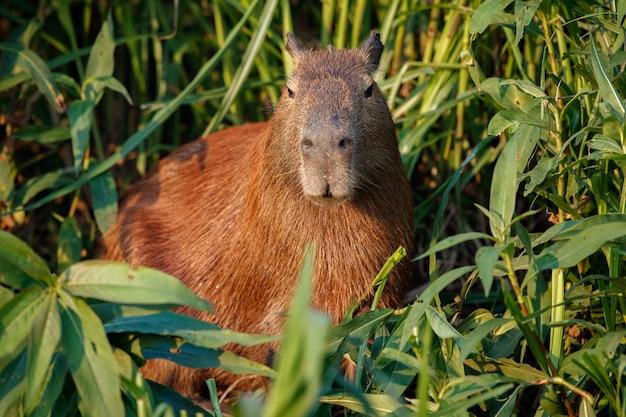 北パンタナールの自然生息地のカピバラ