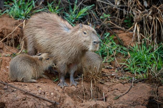 Capibara nell'habitat naturale del pantanal settentrionale