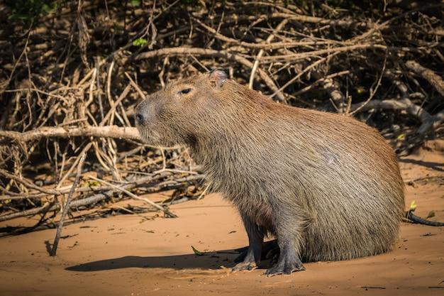 Capybara in nature