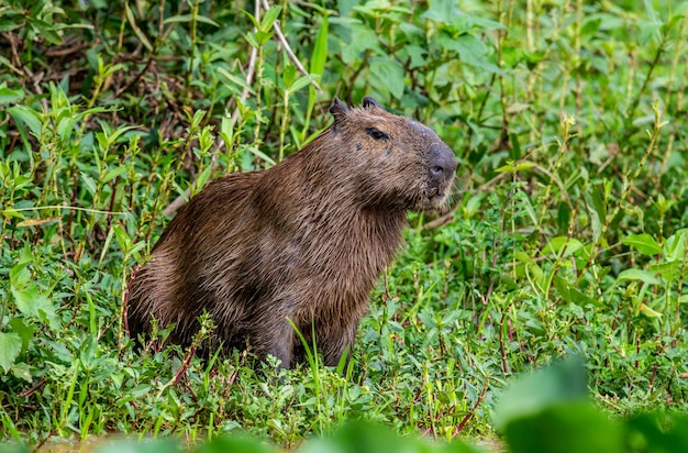 Капибара у реки в траве