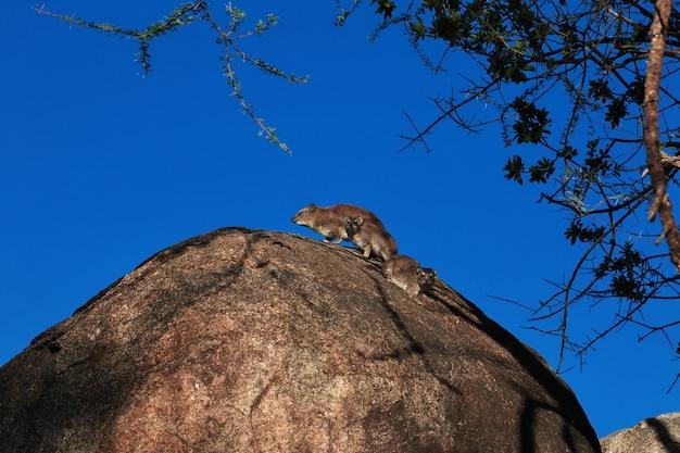 ケニアとタンザニア、アフリカのサファリのカピバラ