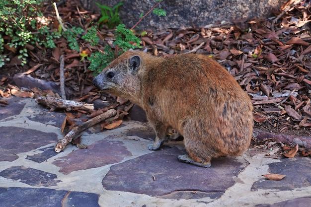 Capybara on safari in kenia and tanzania, africa