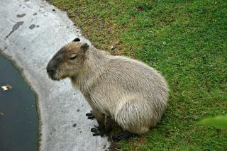 Capybara - world\'s biggest rodent