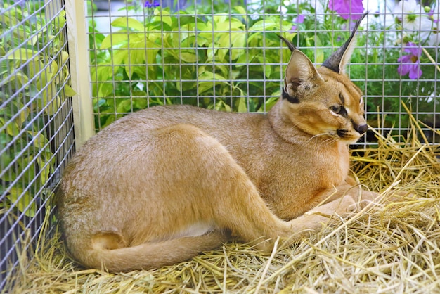 Caracal cat in cage