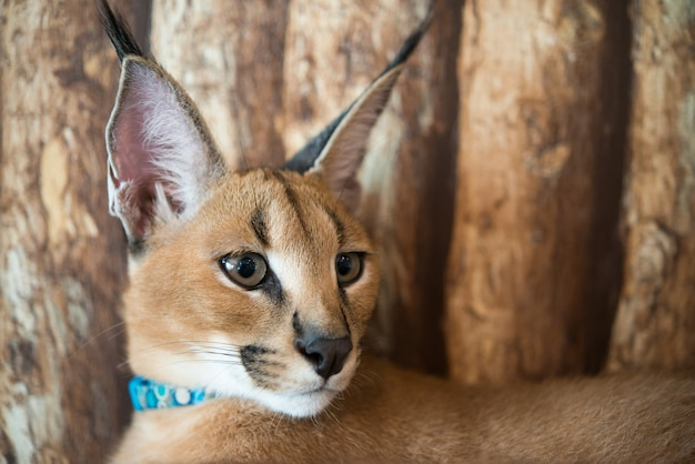 Caracal cat with wooden background