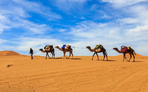 Caravan camels in the sahara desert, morocco