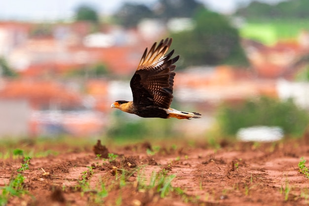 Carcara is a species of bird of prey in the falconid family