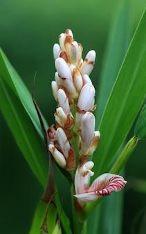자연의 카 다몬 꽃