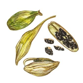 カルダモンの植物は手描きのスパイスの水彩イラストです。