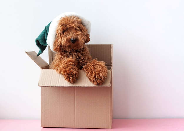 In a cardboard box sits a dog a miniature poodle in an elf hat.