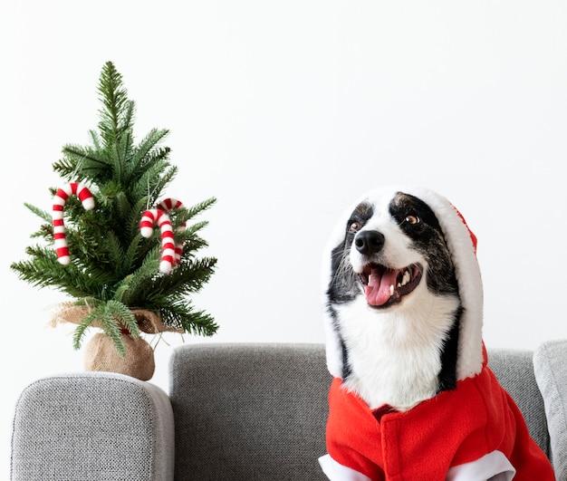 クリスマスの衣装を着たウェールズコーギーのカーディガン
