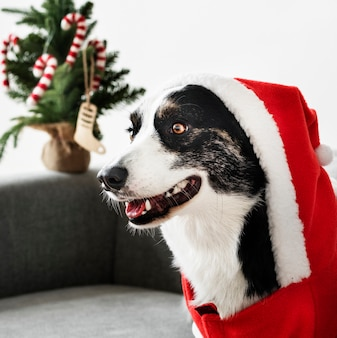Cardigan welsh corgi wearing a christmas costume