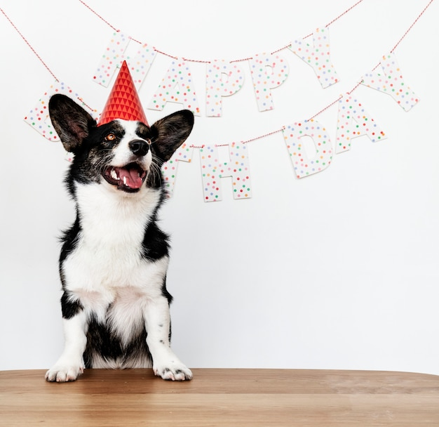Cardigan welsh corgi wearing a red party cap