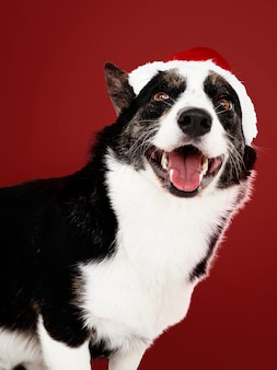 Cardigan welsh corgi with a christmas hat