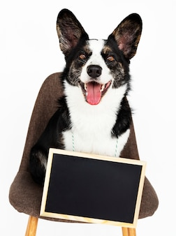 Cardigan welsh corgi with an empty board hanging around his neck