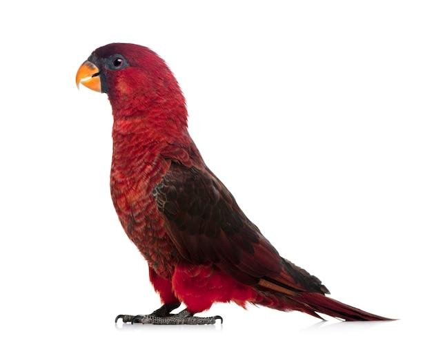 로리 추기경, chalcopsitta cardinalis, 서