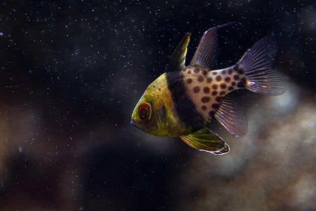 枢機卿-テンジクダイ科-pterapogonkauderni-水中の小さな熱帯の枢機卿魚。