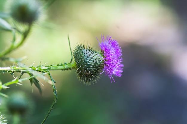 Carduusまたはプルームレスアザミのとげの背景に紫の花のクローズアップ。