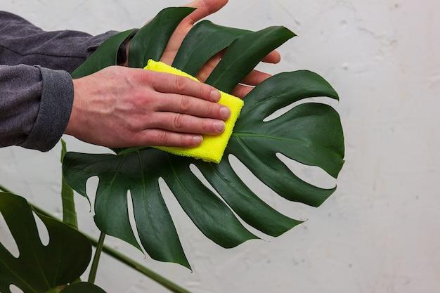 식물과 꽃의 관리 및 청소. 몬스 테라 잎을 채취하는 남성 정원사의 클로즈업.
