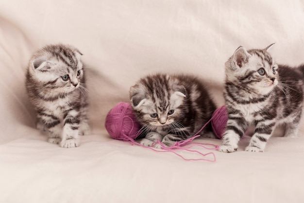 Carefree fun. three little scottish fold kitten sitting close to each other and playing with tangled wool