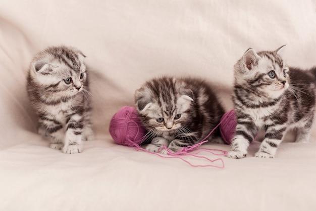 Беззаботное развлечение. три маленьких шотландских вислоухих котенка сидят рядом и играют со спутанной шерстью