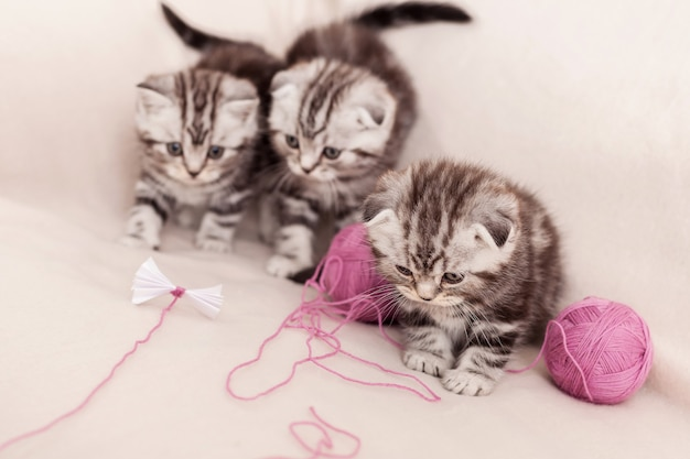 Carefree kittens. three little scottish fold kitten sitting close to each other and playing with tangled wool