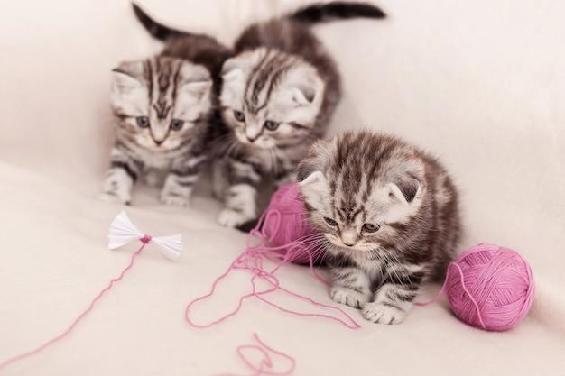 Беззаботные котята. три маленьких шотландских вислоухих котенка сидят рядом и играют со спутанной шерстью