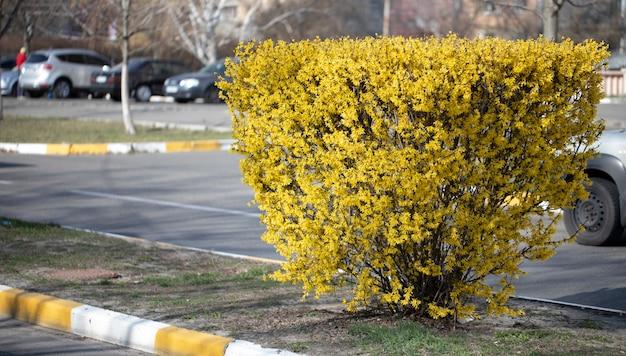 Carefully manicured bush of forsythia on the city street