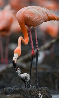 Карибский фламинго на гнезде с птенцом. куба.