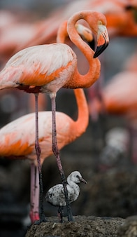 ひよこの巣のベニイロフラミンゴ