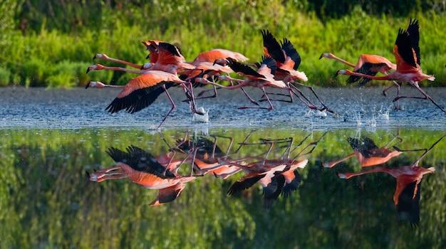 ベニイロフラミンゴが水の上を飛んでいます