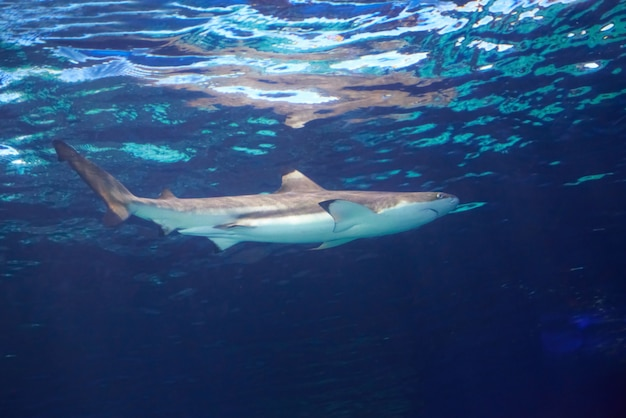 Caribbean reef shark (carcharhinus perezii) in the blue ocean water