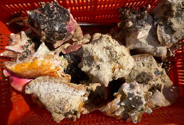 カリブ海の貝殻がメキシコで漁獲