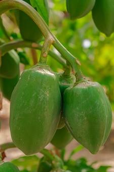 カリカパパイヤの木、緑の未熟なパパイヤ果実