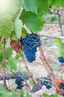 Гроздь винограда кариньяно на винограднике, сардиния, италия