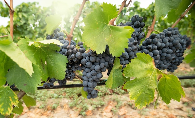 Carignano grape cluster in the vineyard, sardinia, italy
